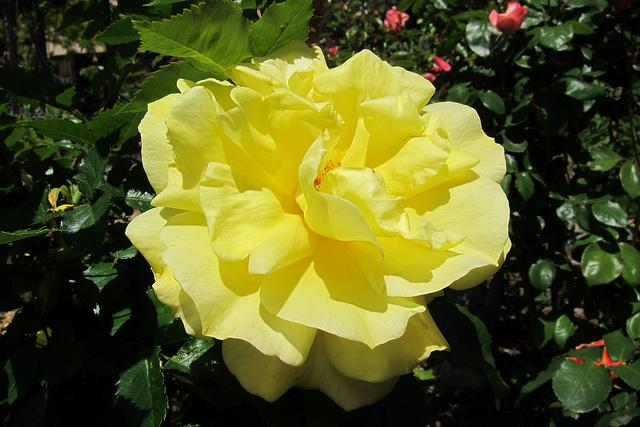 Rose Sunsprite