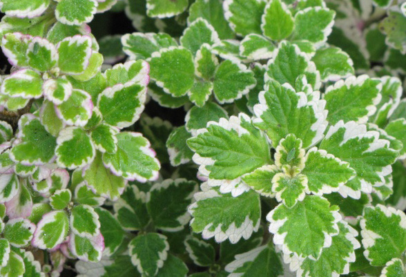 Variegated Mint