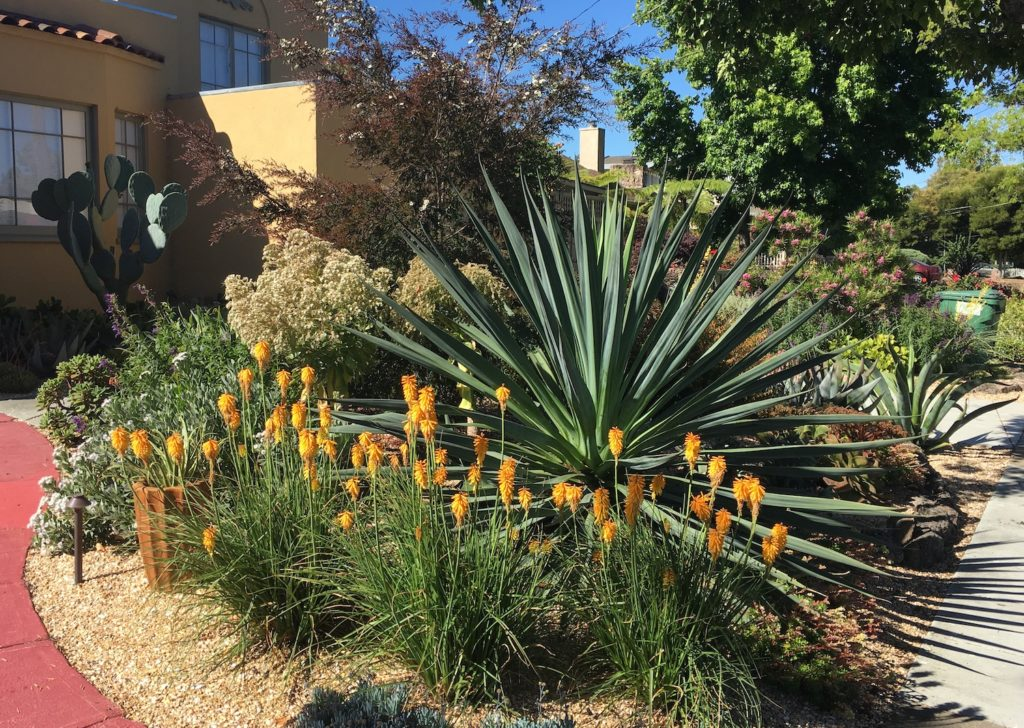 Succulent Garden with Beschorneria and Kniphofia