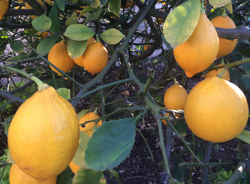 Meyer Lemons ripe on the tree