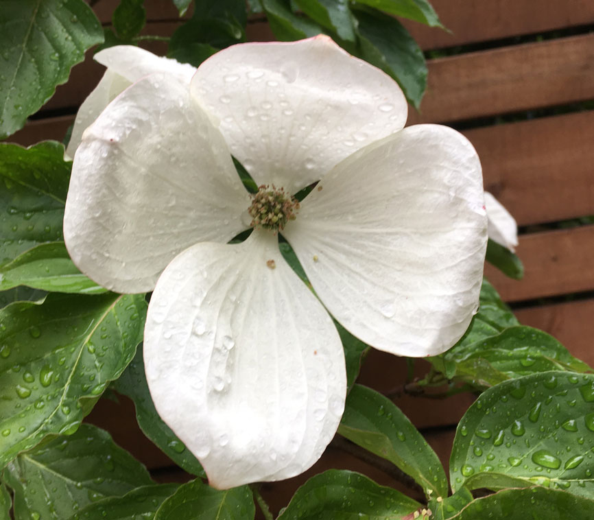 Flowering Dogwood 'Venus'